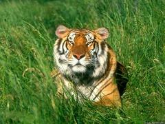sunbather_bengal-tiger
